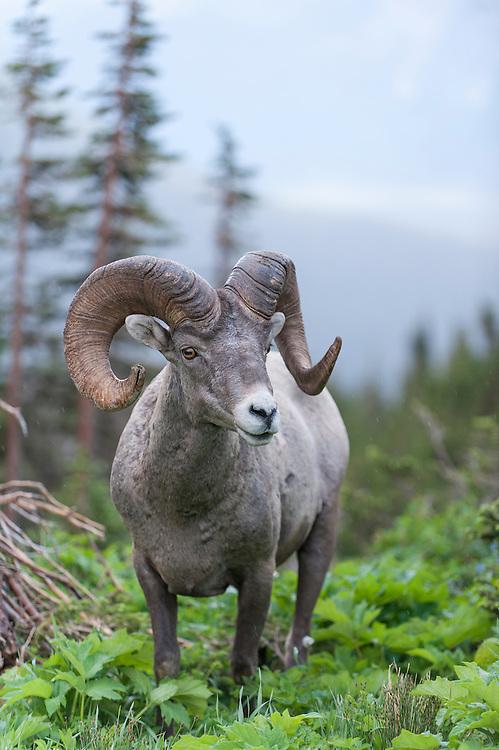 Bighorn Ram in Alpine Habitat, Northern Montana