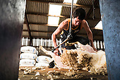 Sheep Shearing Bonchester Bridge 2016