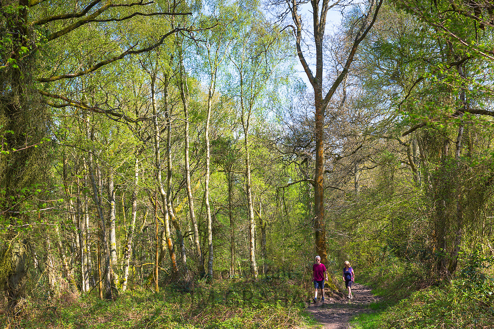 Walkers stroll in woodland scene of silver birch trees, Betula pendula at Bruern Wood in The Cotswolds, Oxfordshire, UK