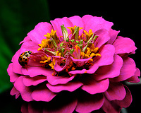 Asian Lady Beetle on a Pink Zinnia Flower. Image taken with a Fuji X-T3 camera and 80 mm f/2.8 macro lens (ISO 160, 80 mm, f/11, 1/250 sec).