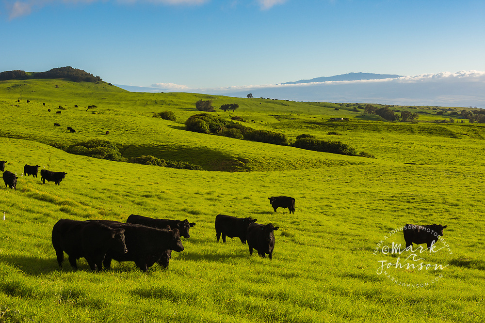 Cattle on lush pasture land, Waimea, Big Island, Hawaii