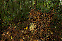 Golden Bowerbird (Prionodura newtoniana) male at his bower, which is a large stick structure decorated with lichens and flowers..Rain forest of the Paluma Range National Park..Queensland, Australia...