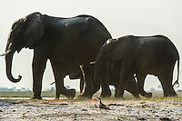 An African Skimmer alarm calls as a herd of African Elephant walks too close to its nest, Chobe River, Kasane, Botswana.