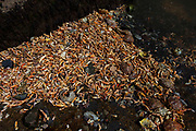 Discarded crabs in Fahamore Harbour, Co, Kerry, Ireland