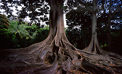 Moreton Bay Fig (Ficus macrophylla) Tree, Allerton Garden, National Tropical Botanical Garden, Kauai, Hawaii, US
