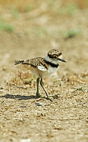 A Killdeer chick only a few weeks old strikes out on its own exploring its new world.