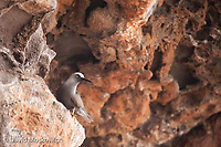 Brown noddy perched on an overhanging oceanside cliff. Napali Coast, Kauai.