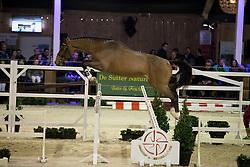 090 - Quibus <br /> Hengsten keuring BWP - Koningshooikt 2017<br /> © Dirk Caremans<br /> 27/12/2016