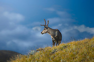 A reindeer stands on a grassy hill near Kangerlussuaq, West Greenland. Reindeer have lived in the arctic since the last Ice Age just over 10,000 years ago. They are the only cervid species found in Greenland and the most common land mammal in western Greenland.