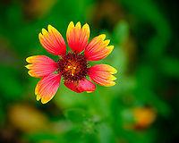 Blanket Flower. Image taken with a Fuji X-H1 camera and 80 mm f/2.8 macro lens + 1.4x teleconverter