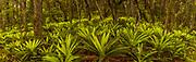 Crown ferns, panorama under podocarp forest canopy, Rakeahua, Stewart Island, Rakiura.