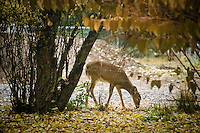 JEROME A. POLLOS/Press ..A deer forages for food in a backyard Monday near Nettleton Gulch Road in Coeur d'Alene.