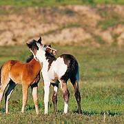 wild horse santuary, south dakota, 2011 western horse datebook june,