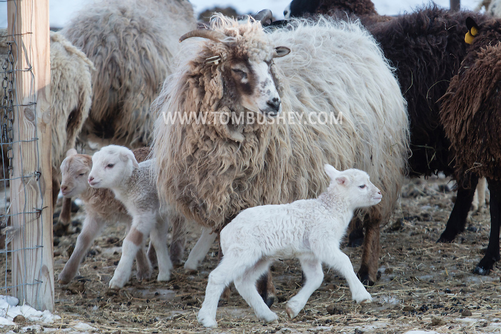 Lambs and sheep gather before heading into the barn on a cold winter afternoon at Banbury Cross Farm in Goshen, New York.
