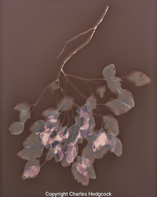 Lumen Print of Eucalyptus branch from Lake Mead Arizona