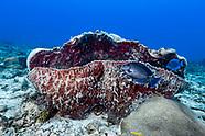 Blue tang surgeonfish (Acanthurus coeruleus)