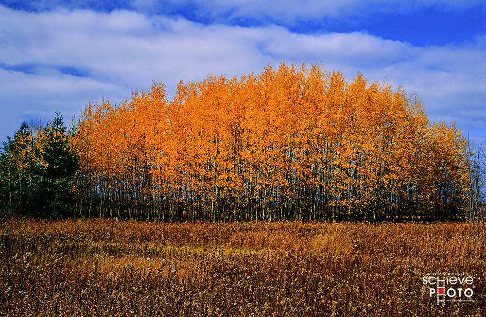 Aspen trees showing fall color in Door County Wisconsin.