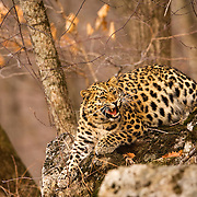 Amur leopard Russia. Snarling at jay