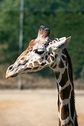 Reticulated Giraffe (Giraffa camelopardalis reticulata), Oakland Zoo, Oakland, California, United States of America