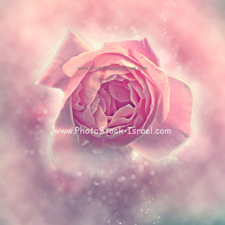 Digitally manipulated exploding Pink English rose as seen from above