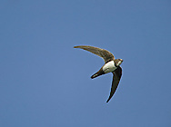 Alpine Swift Apus melba, which winter in Africa and breed in southern Europe, turn up in small numbers in spring, carried here on strong southerly winds.