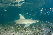 A Bonnethead or Shovelhead Shark, Sphyrna tiburo, swims over sea grass in Florida Bay in Everglades National Park, Monroe County, Florida, United States.