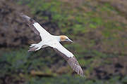 How did the gannet get it&rsquo;s name?<br /> The gannet's supposed capacity for eating large quantities of fish has led to &quot;gannet&quot; becoming a disapproving description of somebody who eats excessively, similar to &quot;glutton&quot;.<br /> In this picture is an Australasian Gannet (Morus serrator).  The Maori name for the gannet is &ldquo;takapu&rdquo;.