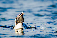 African Penguin bathing, Bettys Bay, Western Cape, South Africa