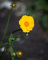 Lance-leaf Coreopsis. Image taken with a Nikon Df camera and 300 mm f/4 lens