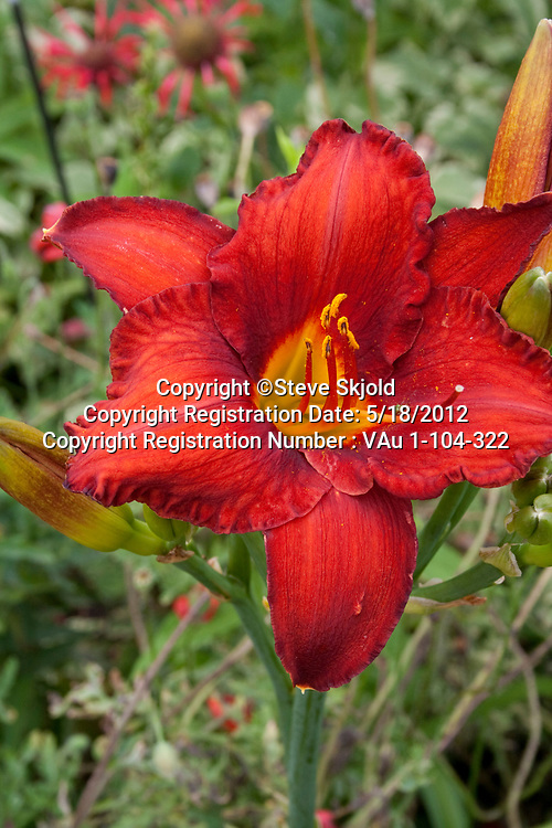 Probably a close-up of a bright red splashy tiger lily in a flower garden. Lanesboro Minnesota MN USA