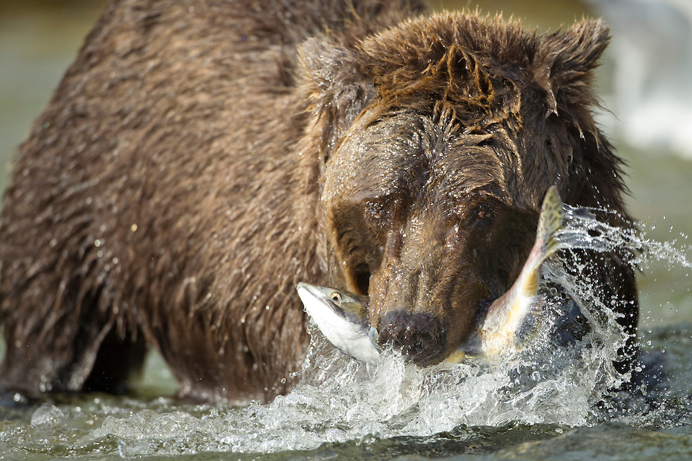 USA, Alaska, Katmai National Park, Coastal Brown Bear (Ursus arctos) bites into Chum Salmon caught in spawning stream by Kinak Bay