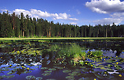 Idaho, McCall, Ponderosa State Park. Water lilies blooming at Lily Pond Marsh.