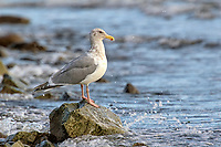 Glaucous-winged Gull (Larus glaucescens) on rock, Cambell River, Vancouver Island, CanadaCambell River   Photo: Peter Llewellyn
