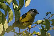 Stripe-cheeked Greenbul, Seldomseen, Bvumba, Manucaland Province, Zimbabwe