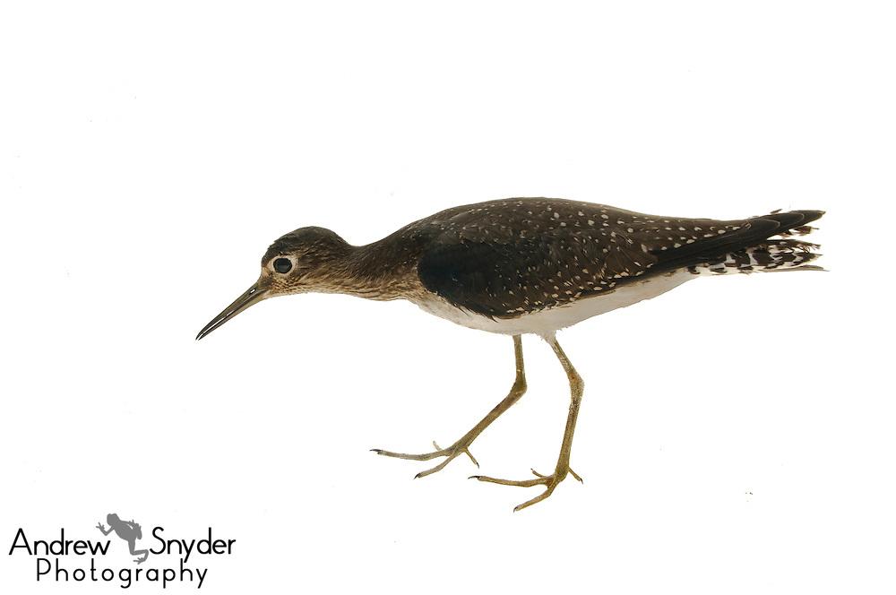 Solitary Sandpiper (Tringa solitaria) - Berbice, Guyana.