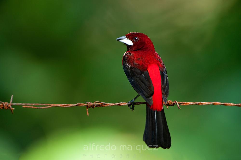 Crimson-backed Tanager (Ramphocelus dimidiatus) female, Soberania national park, Panama, Central America