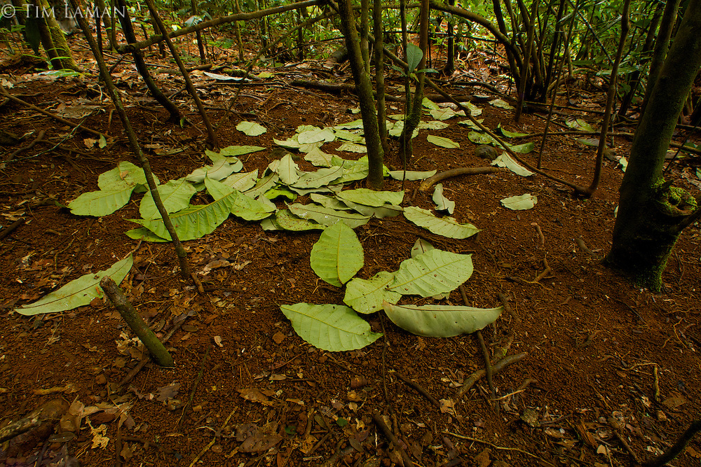 Display court of the Tooth-billed Bowerbird (Scenopoeetes dentirostris) consisting simply of a cleared area with a collection of upside-down leaves arranged...Rain forest of the Atherton Tablelands,.Queensland, Australia.