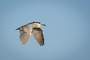 Black-Crowned Night Heron in San Diego, California