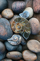 Terrestrial magnetism turned on #ammonite<br />