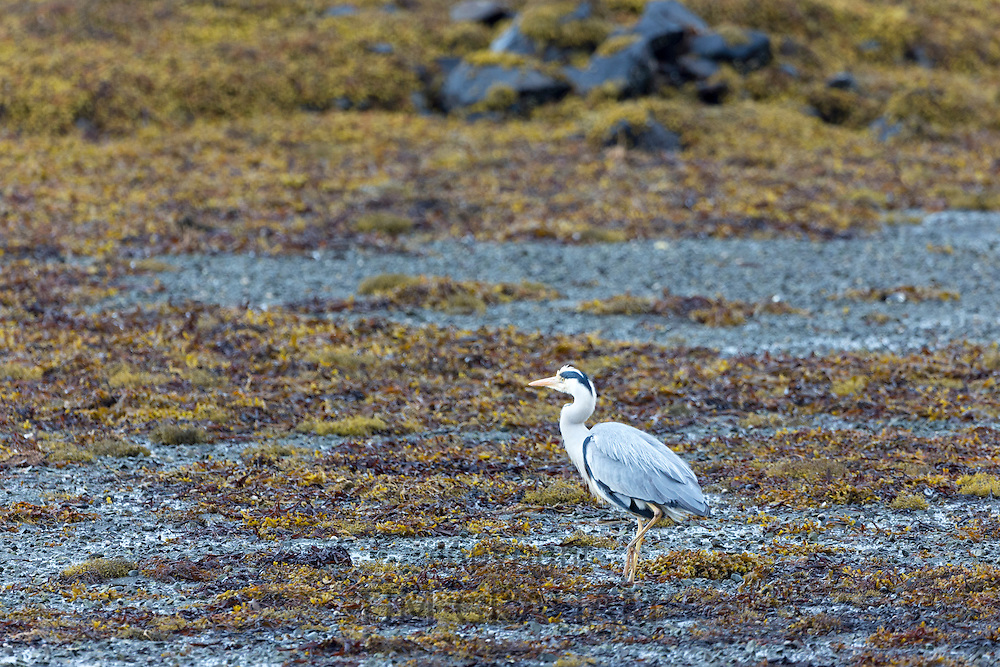 Large Grey Heron, Ardea cinerea, by shoreline of loch on the Isle of Mull in Inner Hebrides and Western Isles of Scotland