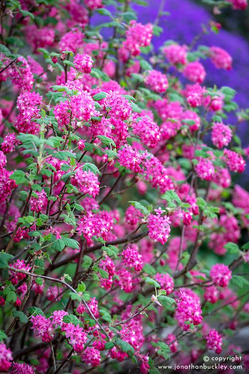 Ribes sanguineum - Flowering currant, Redflower currant.