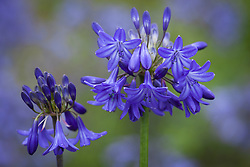 Agapanthus 'Bressingham Blue'. African lily