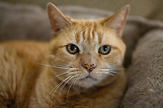 Domestic short hair Mackrel Tabby Cat (Felis cats)
