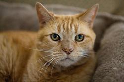 Portrait of an orange ginger domestic short hair Mackrel Tabby Cat (Felis cats).