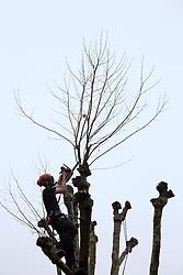 UK ENGLAND LONDON 11DEC13 - A tree surgeon prunes a sycamore tree in Shirland Road, Westminster, west London.<br /> <br /> jre/Photo by Jiri Rezac<br /> <br /> © Jiri Rezac 2013