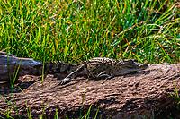 Alligator on a rock, Yala National Park, Southern Province, Sri Lanka.