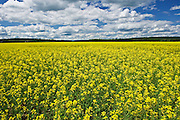canola crop in bloom<br /> Verner<br /> Ontario<br /> Canada