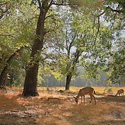 Lone Deer Meadow Edge - Yosemite Valley