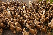 Flock of ducks, Bali, Indonesia.