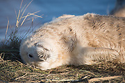 Donna Nook, Lincolnshire, UK – Nov 16 : Close up on the face of a cute fluffy newborn baby grey seal pup lying in the grass 16 Nov 2016 at Donna Nook Seal Sanctuary, Lincolnshire Wildlife Trust